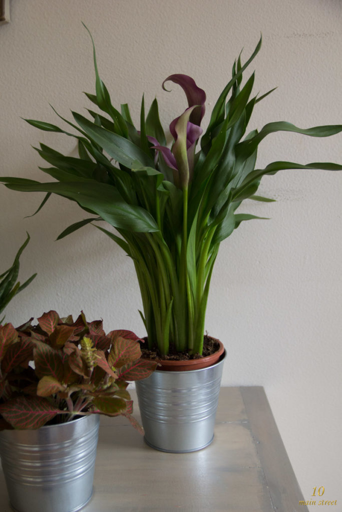 Zantedeschia dans son cache-pot Socker