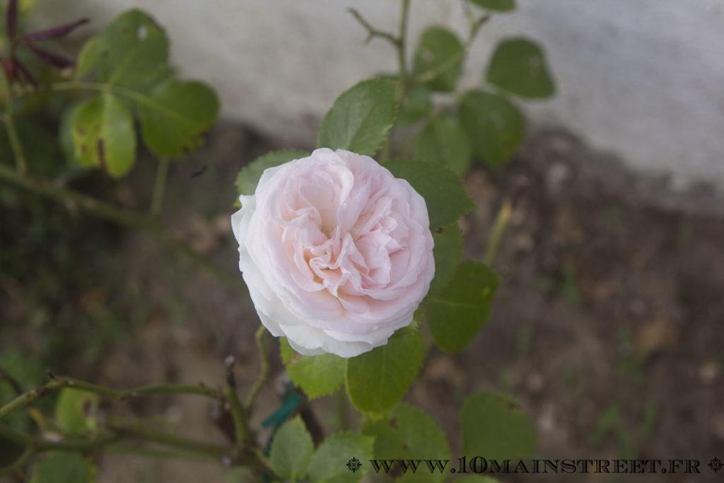 Rose Ronsard sur le nouveau rosier