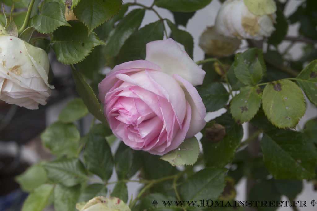 Rose Ronsard à peine éclose