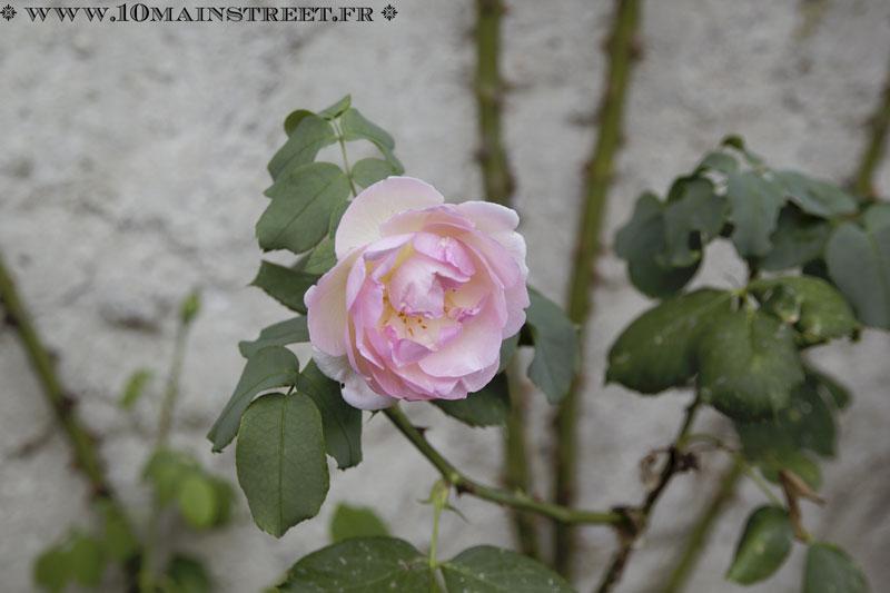 Magnifique rose délicatement rose