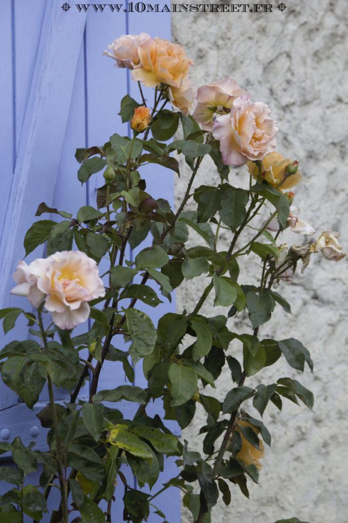 Rosier orange couvert de fleurs