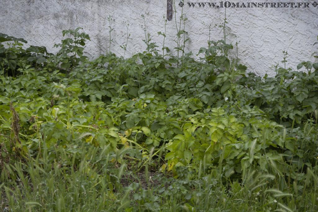 Plantations de pomme de terre