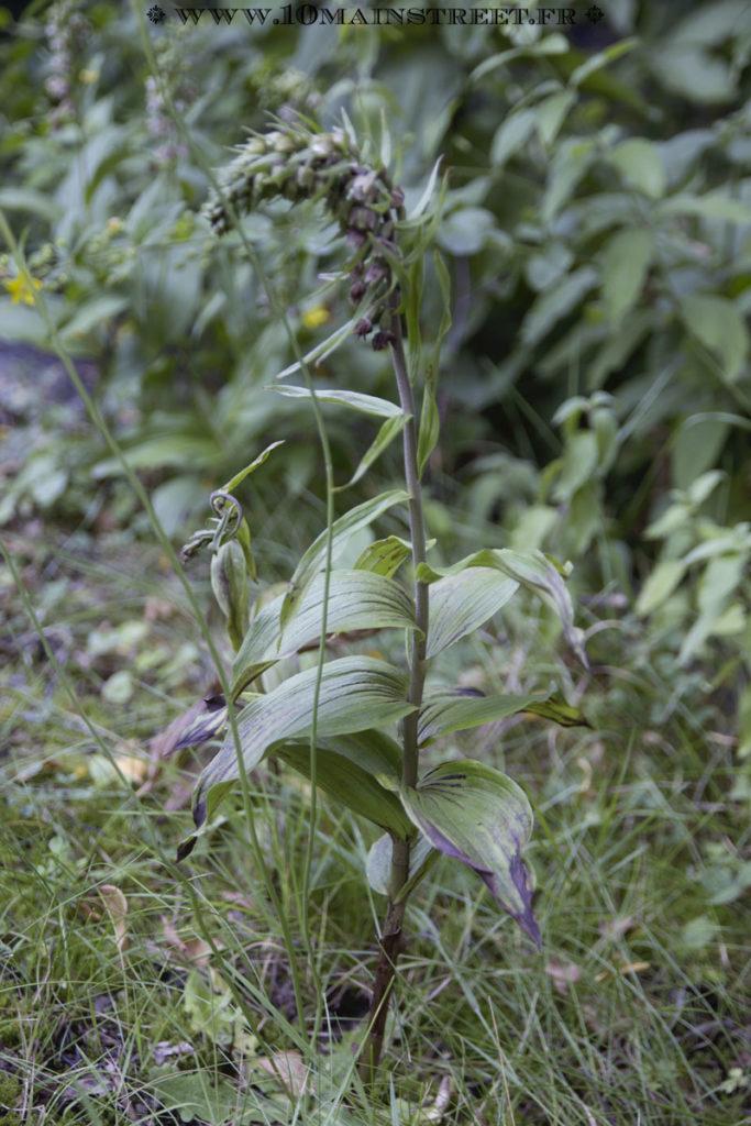 Joli plan d'orchidée epipactis