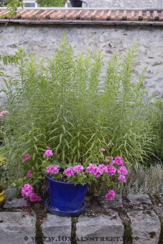 Geraniums couverts de fleurs