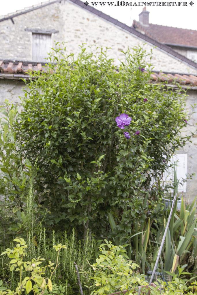 Hibiscus qui commence à fleurir