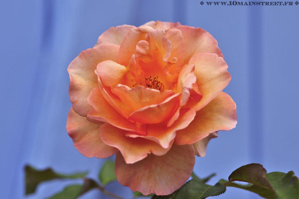 Le rosier préféré de Cédric