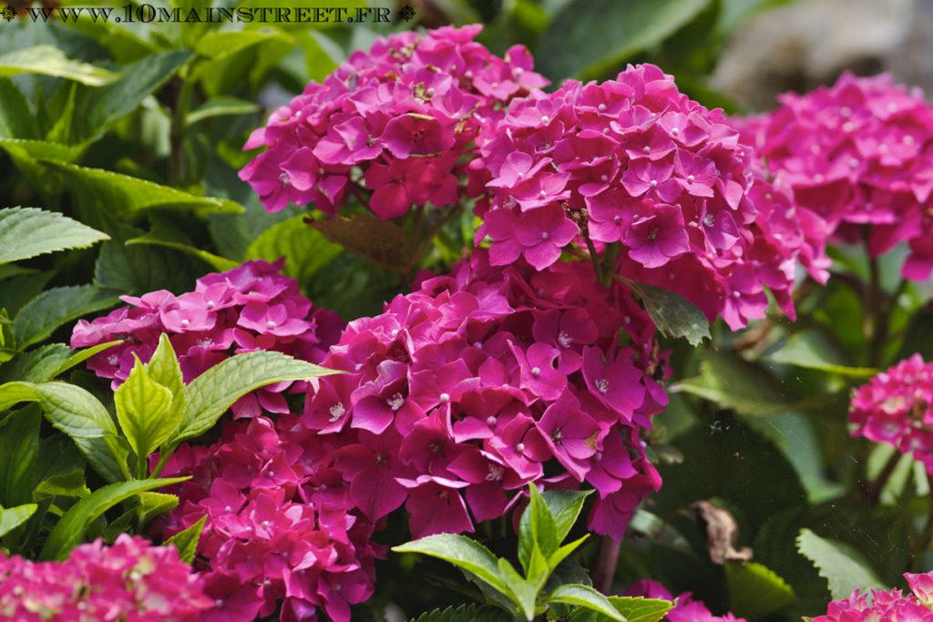 Hortensia rose vif