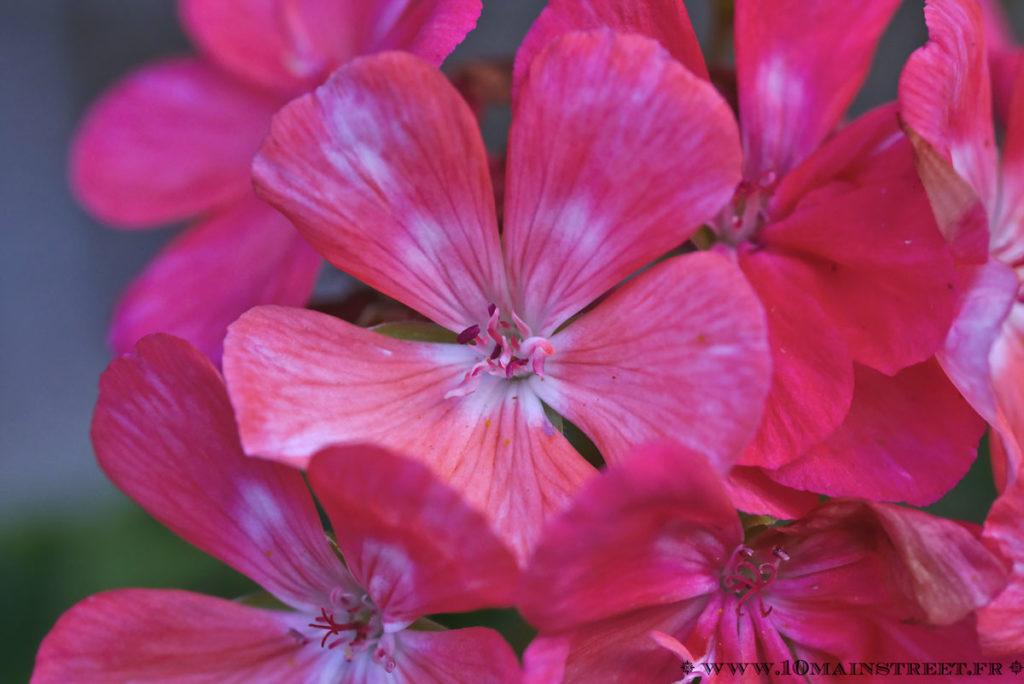 Fleur de géranium