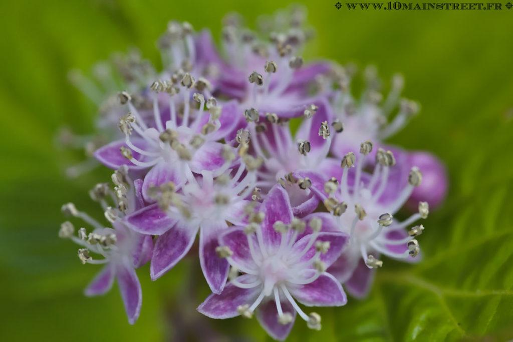 Fleur d'hortensia pas encore ouverte