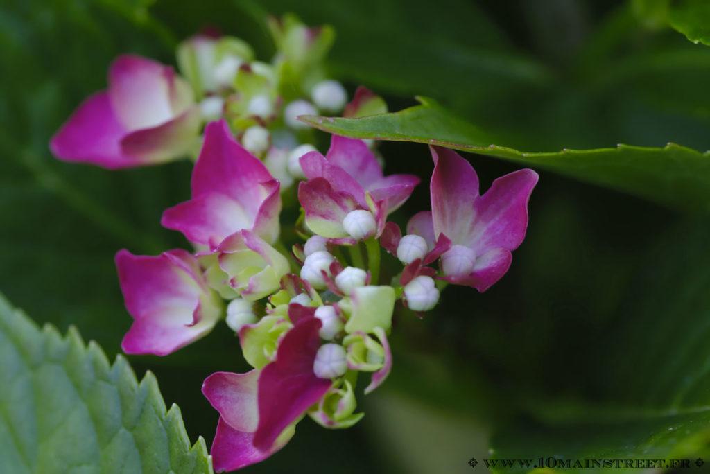 Fleur d'hortensia en cours d'ouverture