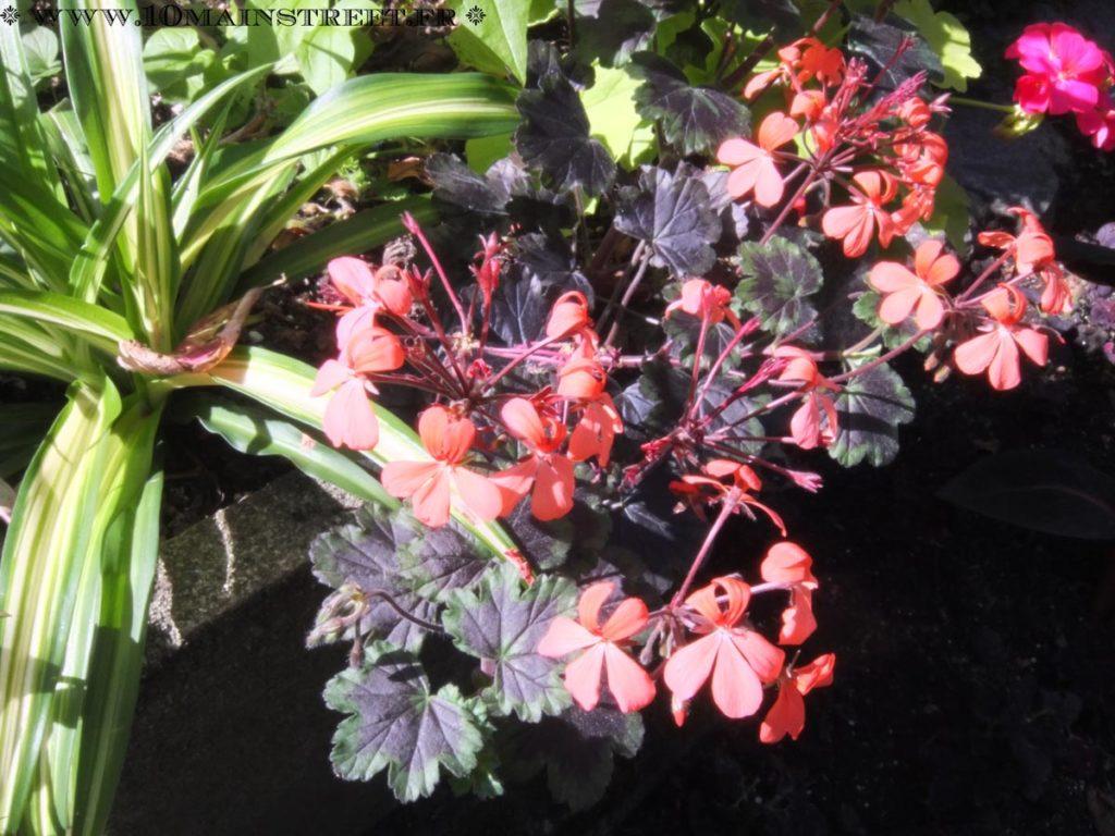 Fleur de bégonia au Stanley Park