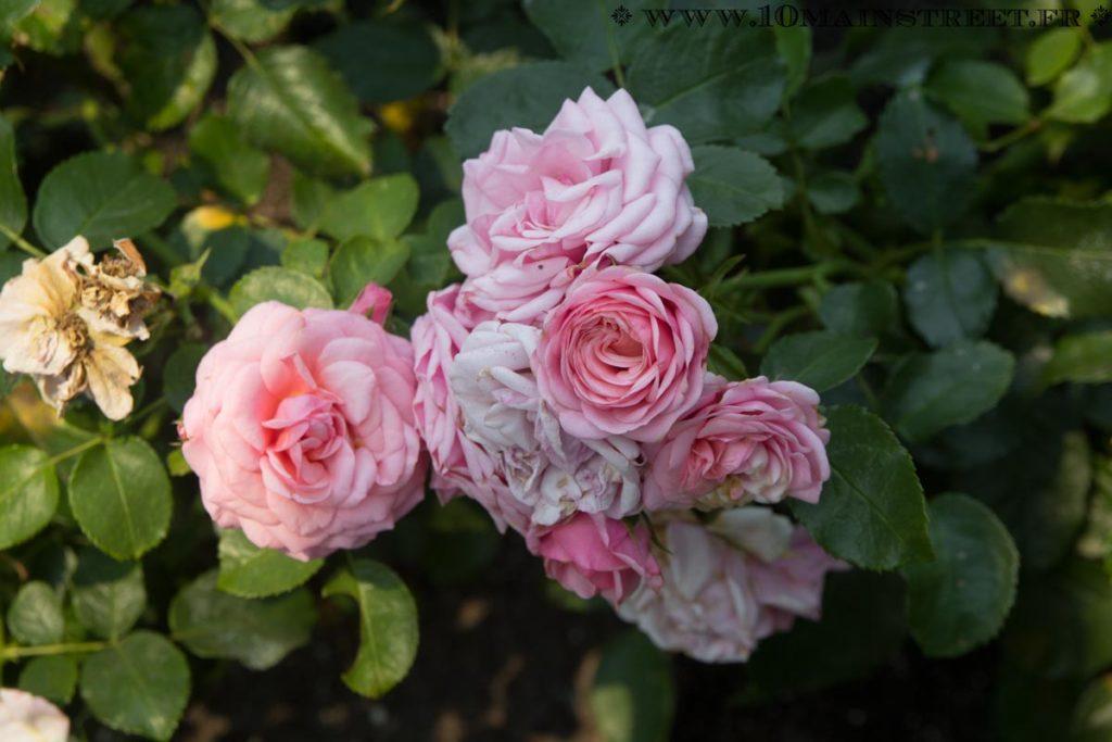 Roses groupées roses au rose garden de l'UBC