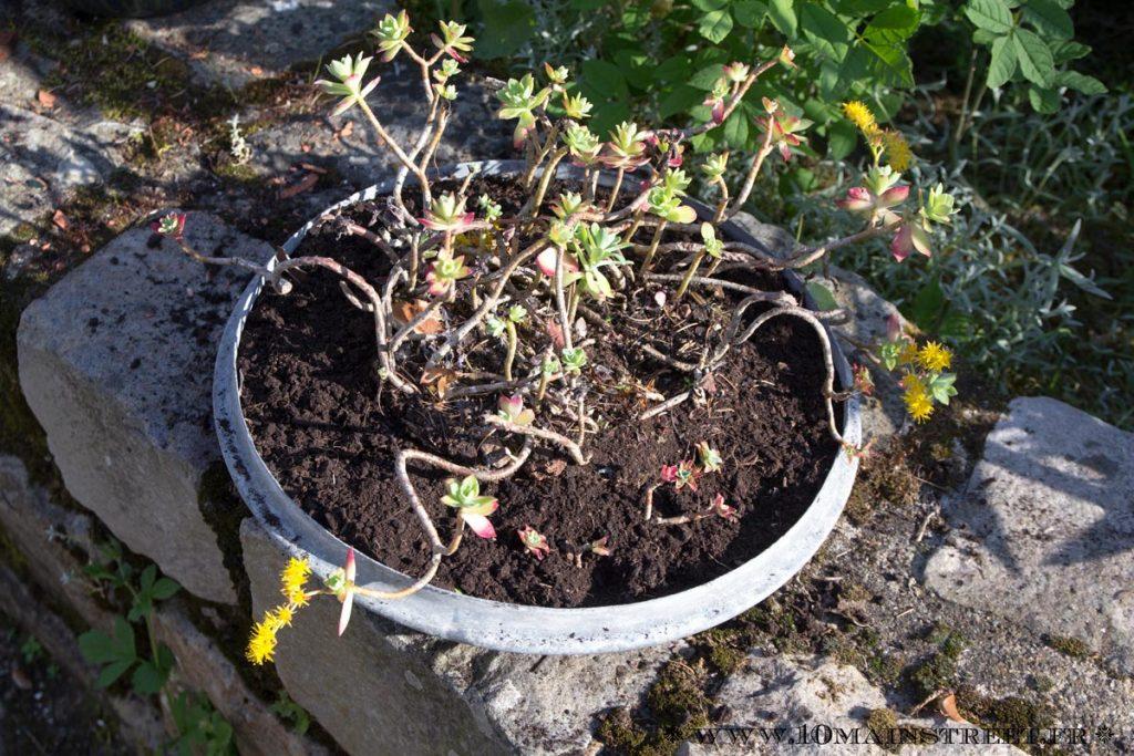 Plantes de rocaille dans le couvercle du stérilisateur