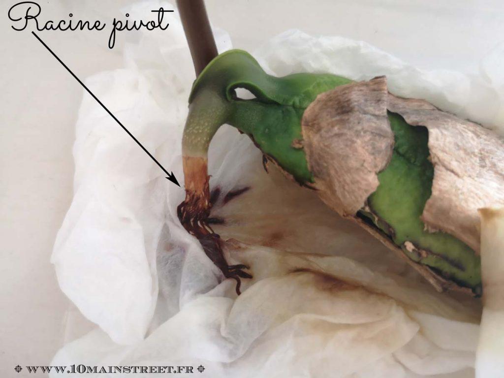 Racine pivot du bébé manguier