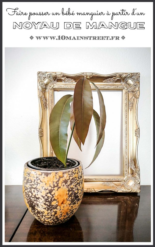Faire pousser un bébé manguier à partir d'un noyau de mangue #plantes #mangotree