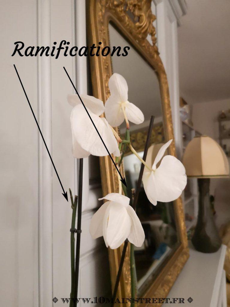 Ramifications sur des hampes de phalaenopsis