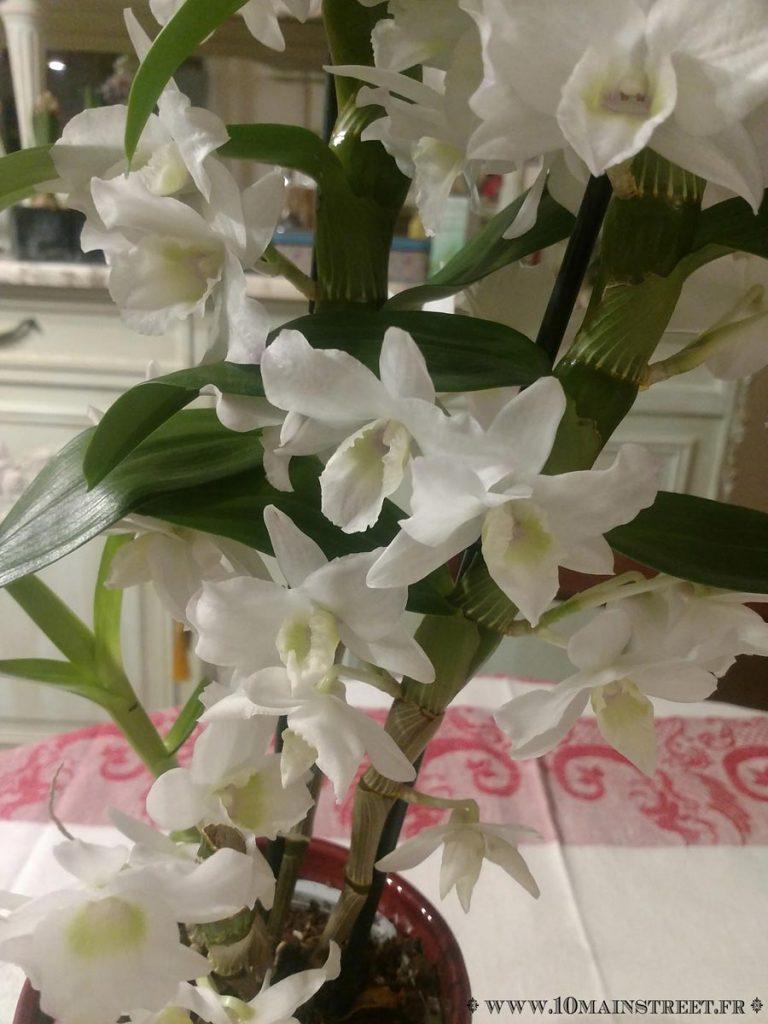 Fleurs de dendrobium