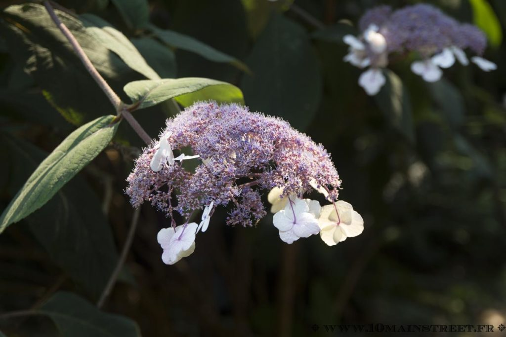 Fleur d'hydrangea aspera