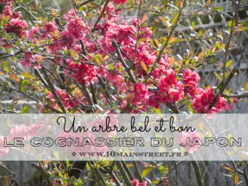 Le cognassier du Japon, un arbre bel et bon