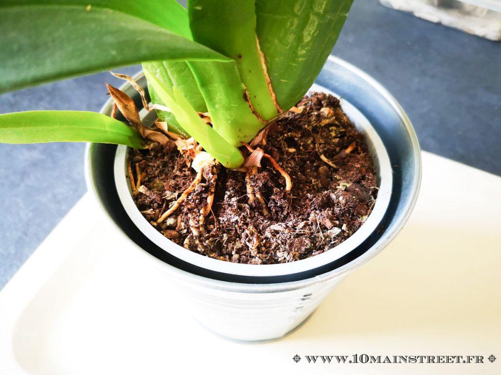 Oncidum dans un compost inadapté