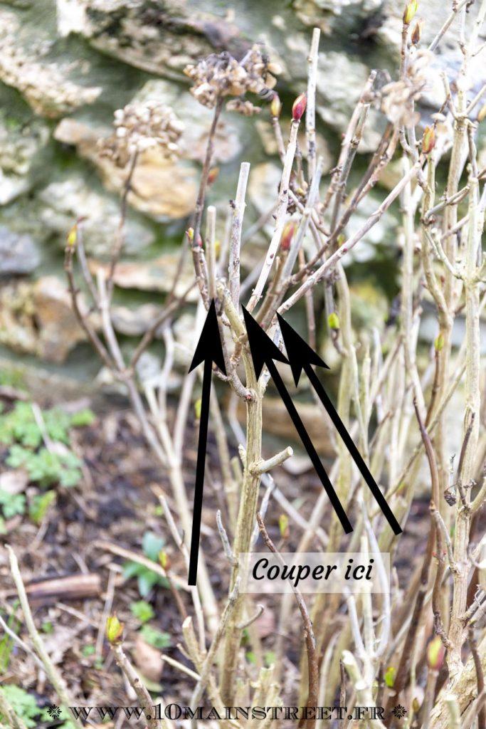 Branche d'hortensia à tailler