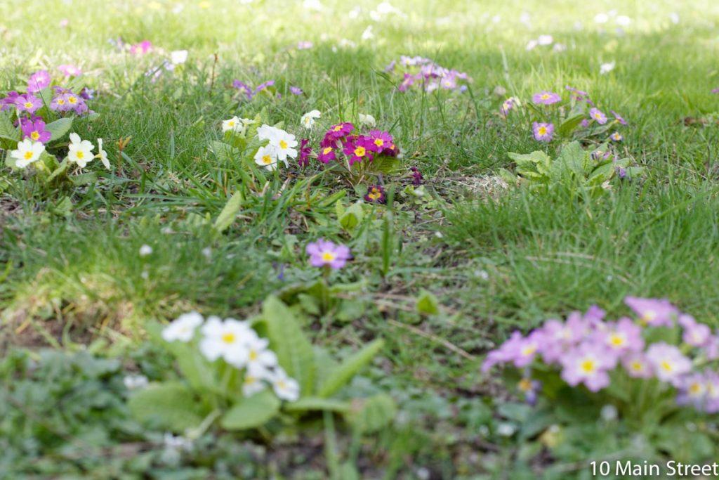 Plusieurs couleurs de primevères au jardin