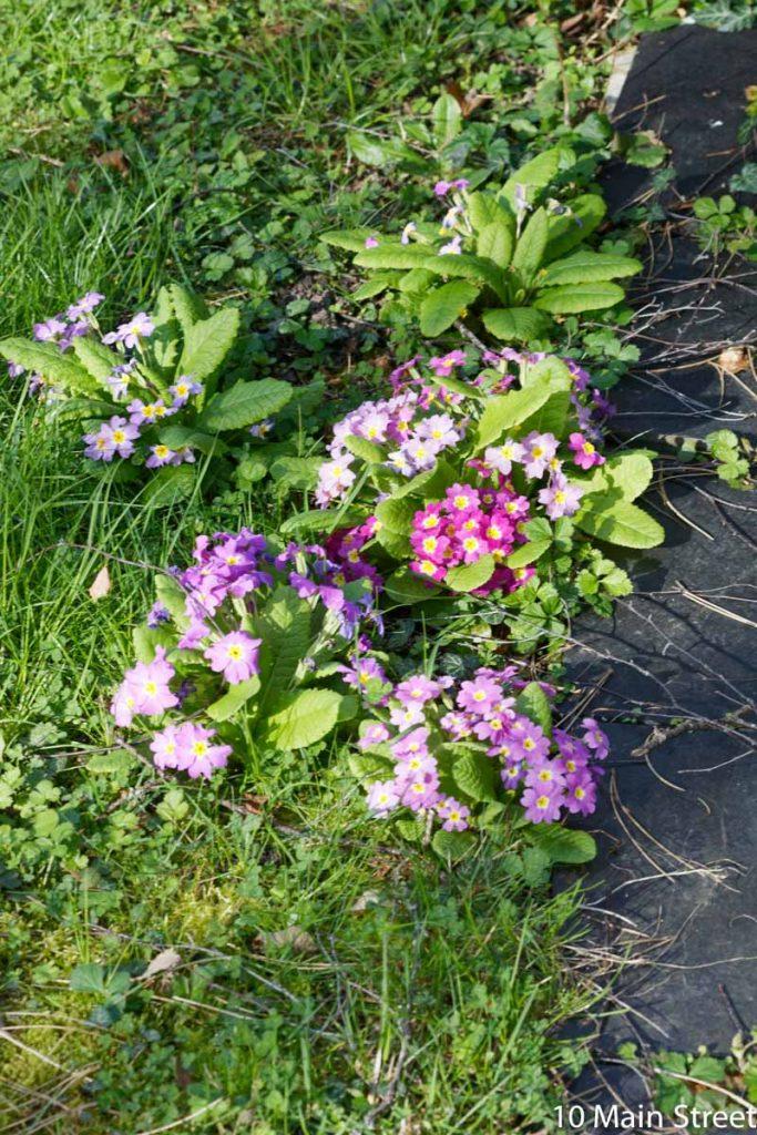 Primevères sous le soleil au jardin