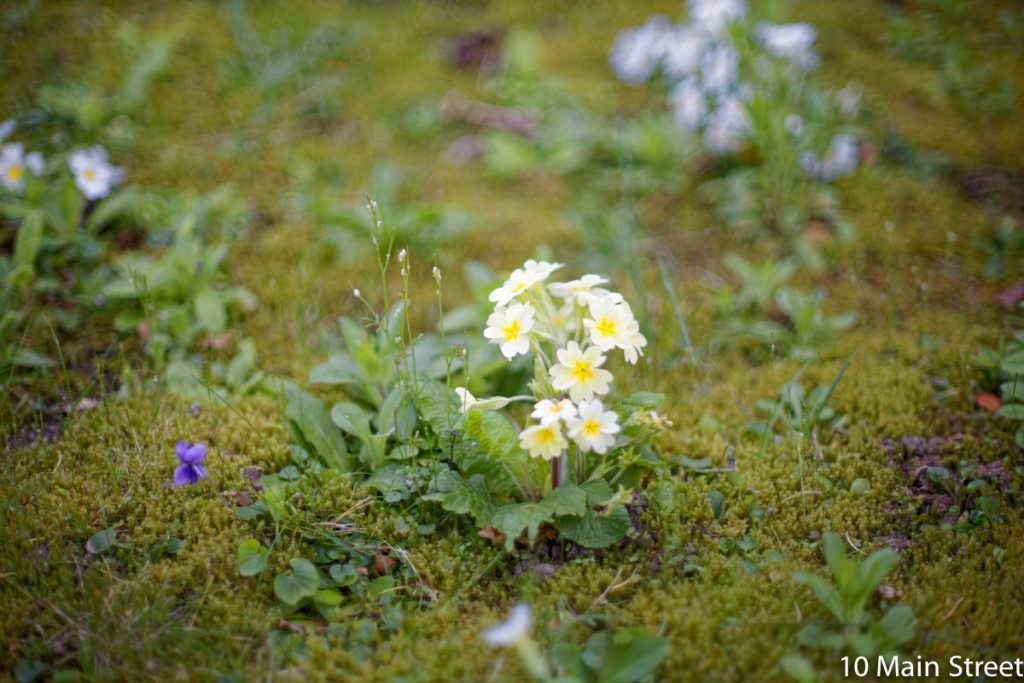 Primevère blanche au jardin