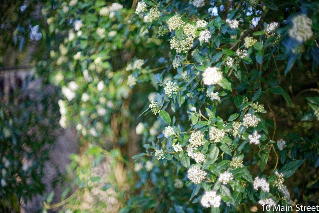 Laurier tin en fleurs