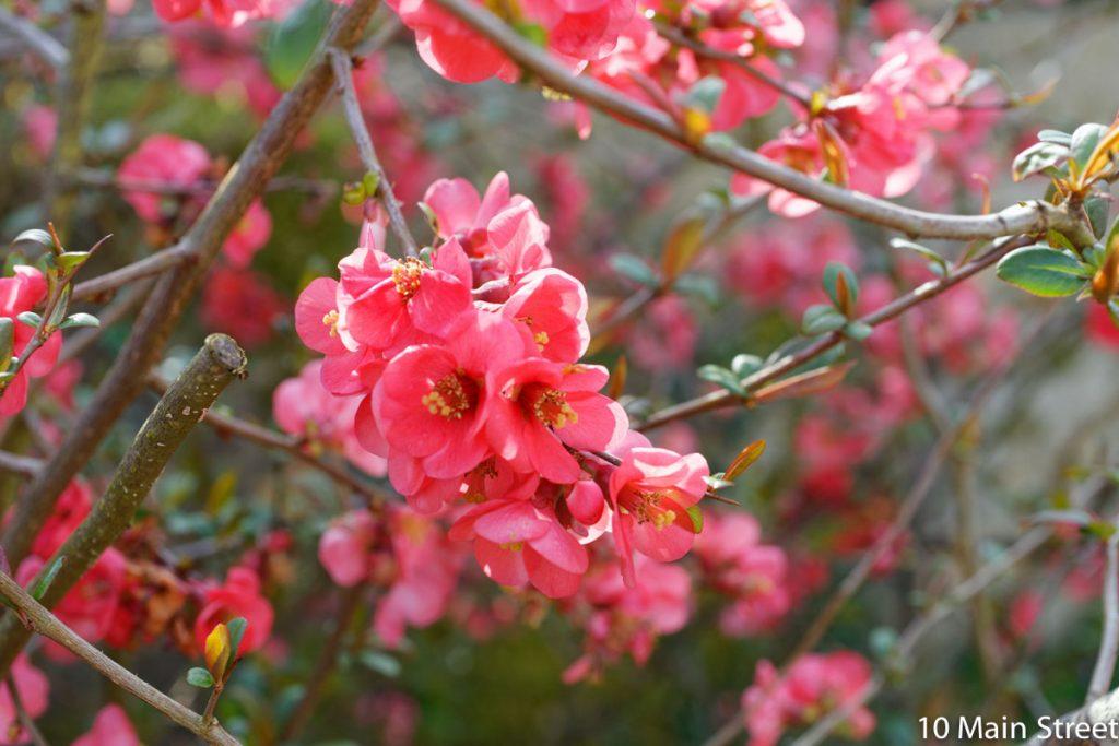 Magnifiques fleurs rouges du cognassier du Japon