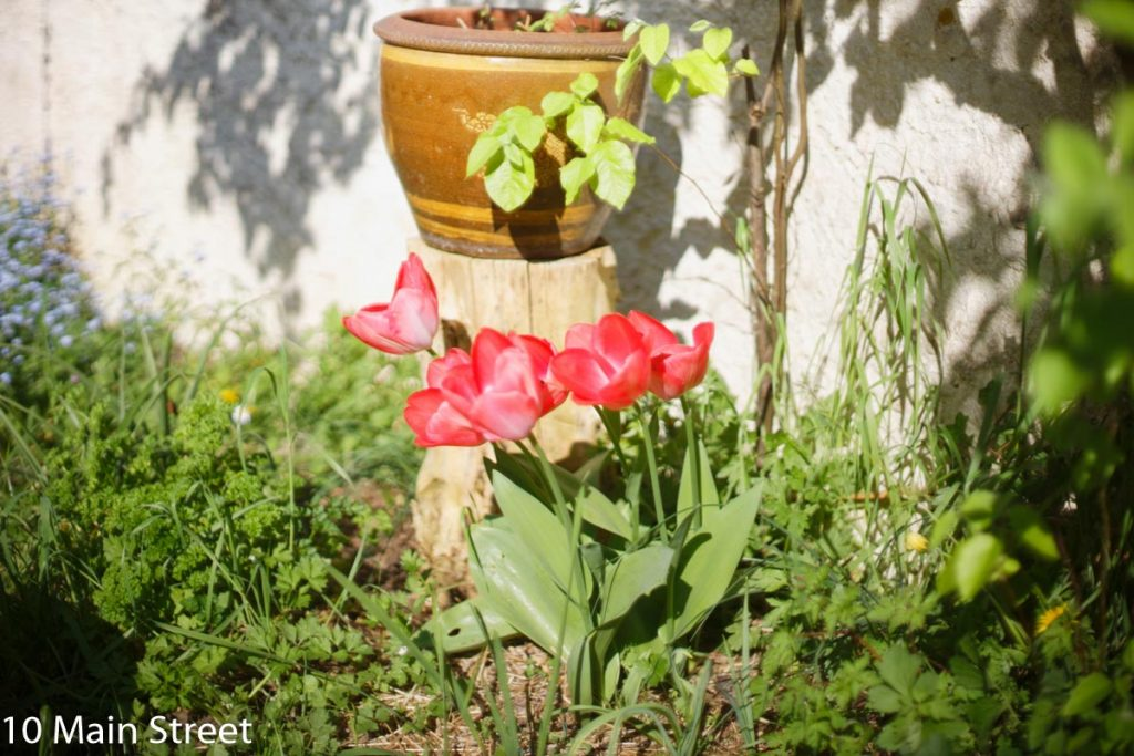 Tulipes rouges simples