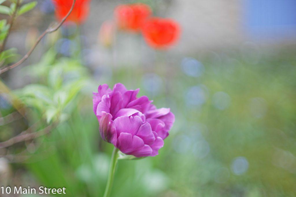 Tulipes rouges et mauves derrière la maison