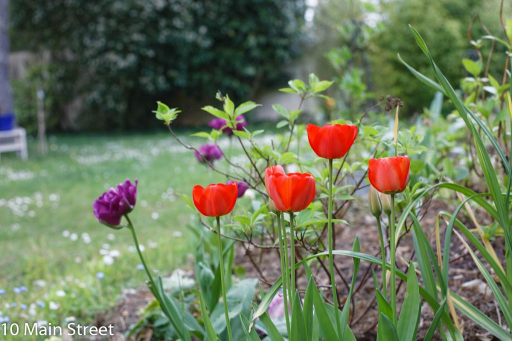 Tulipes simples rouges et tulipes mauves doubles