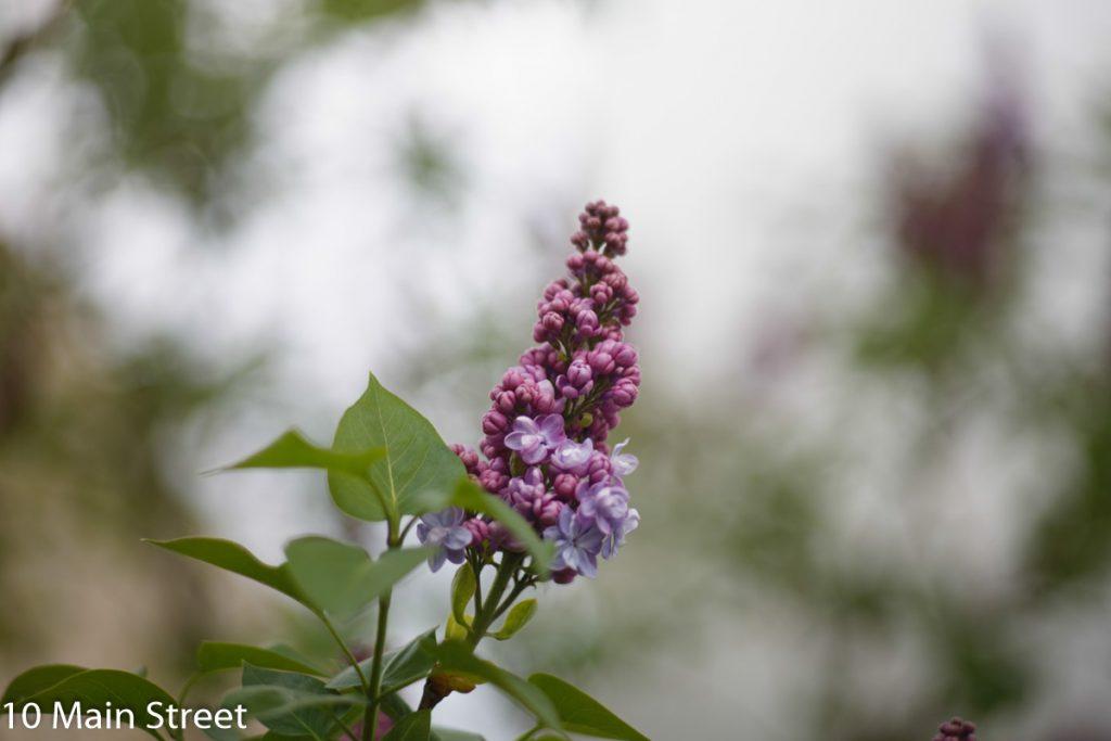 Fleurs de lilas non ouverte
