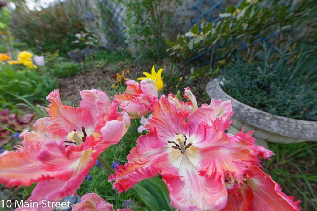 Tulipes au grand angle