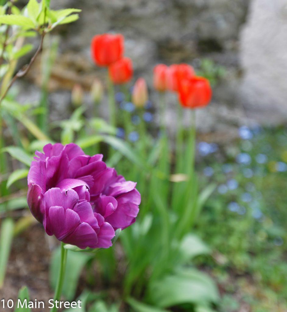 Tulipe double mauve