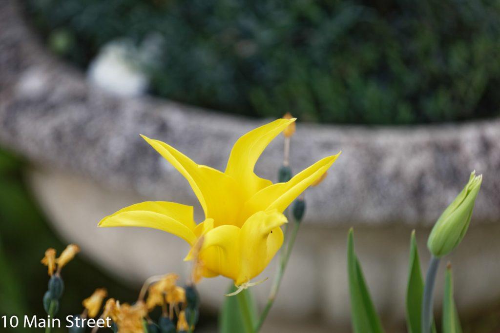 tulipe jaune pointue