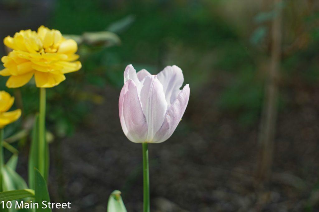 Tulipes du massif devant la maison