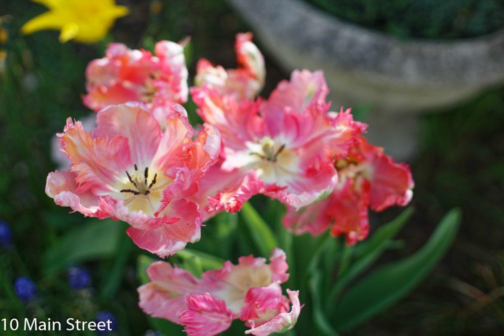 Tulipes roses devant la maison