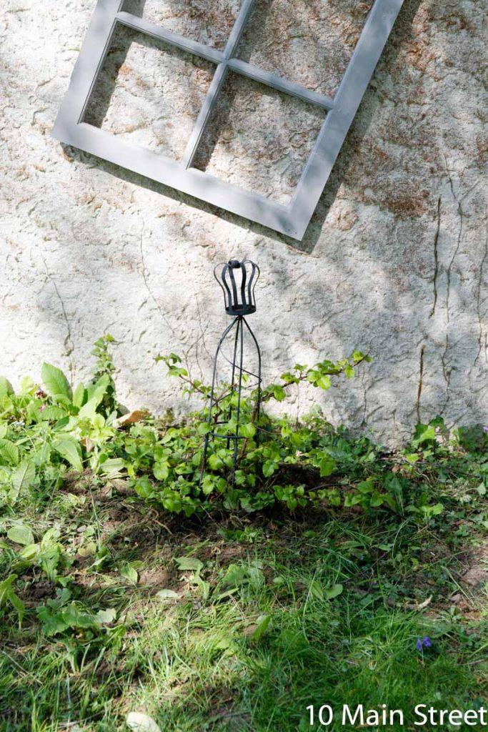 Hydrangea petiolaris planté devant une ville fenêtre fixée au mur