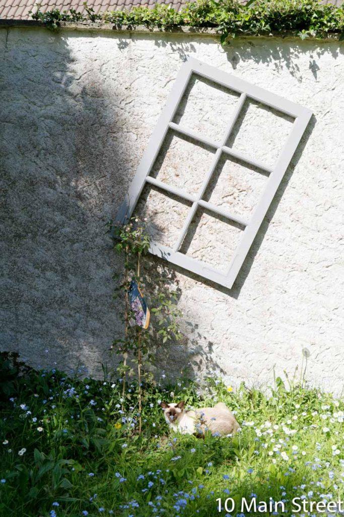 Clématite prête à grimper sur une vieille fenêtre