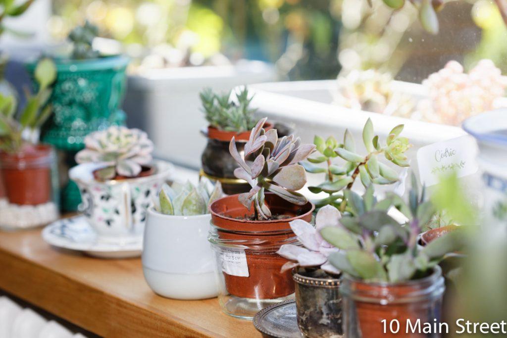 Jeunes succulentes en pot