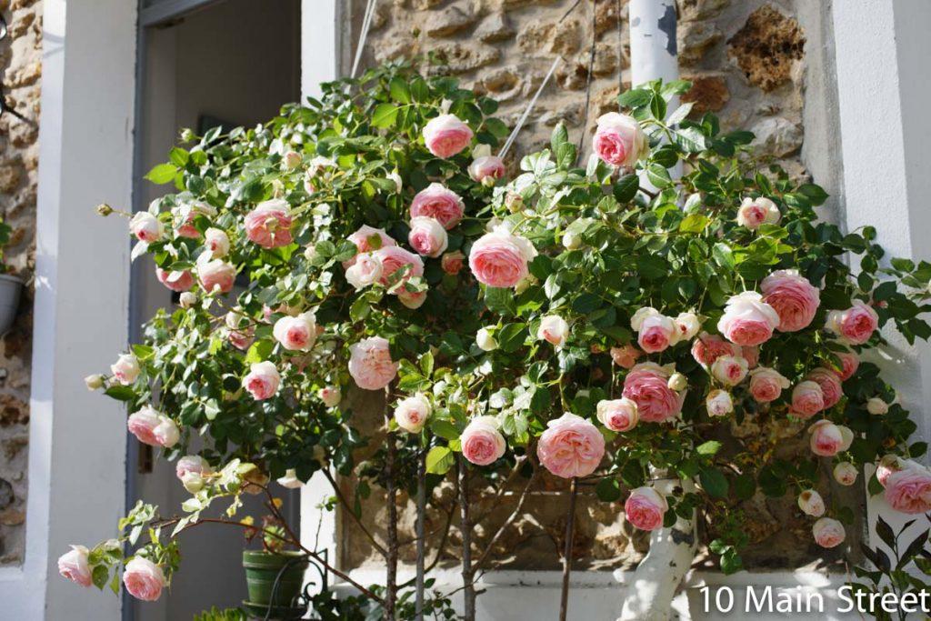 Rosier Pierre de Ronsard croulant sous les fleurs