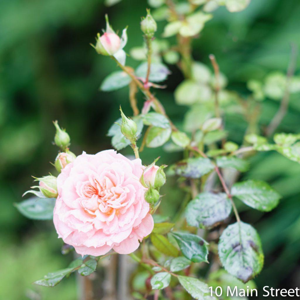 Rosier tige à petites fleurs roses