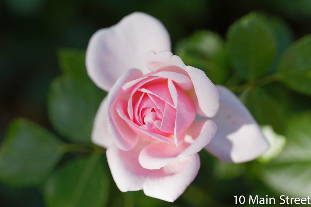 Grosse rose chou rose