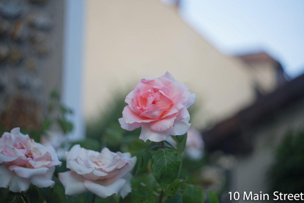 Roses en soirée