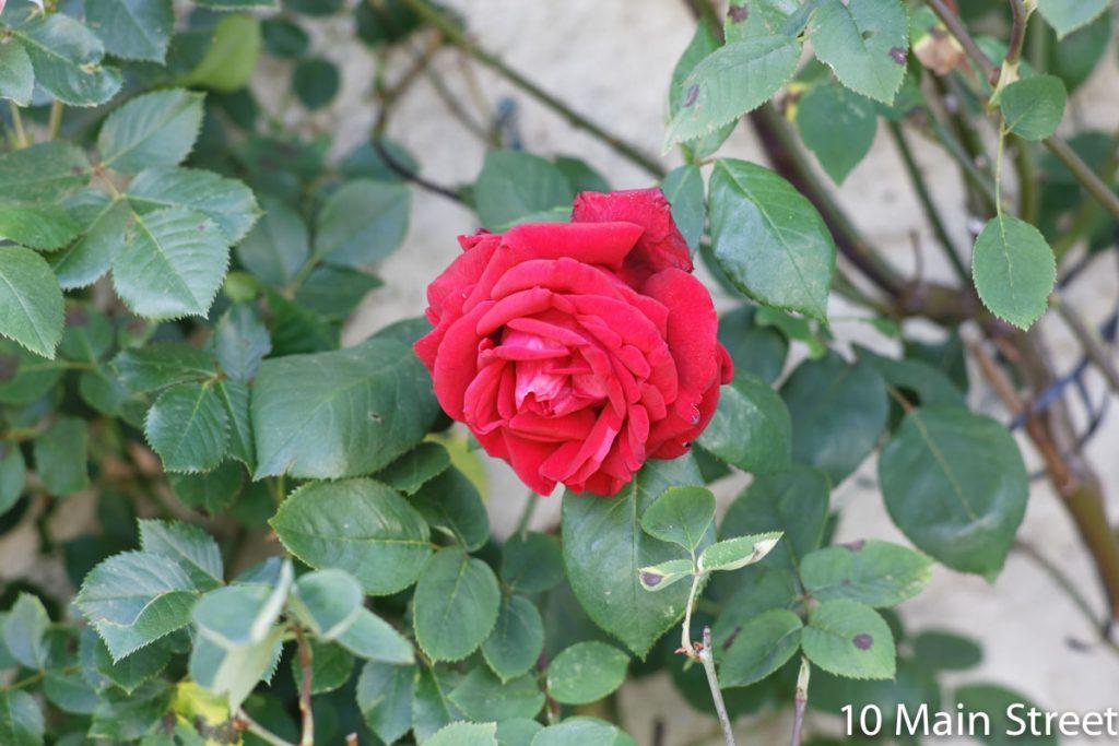 Rose rouge-rose