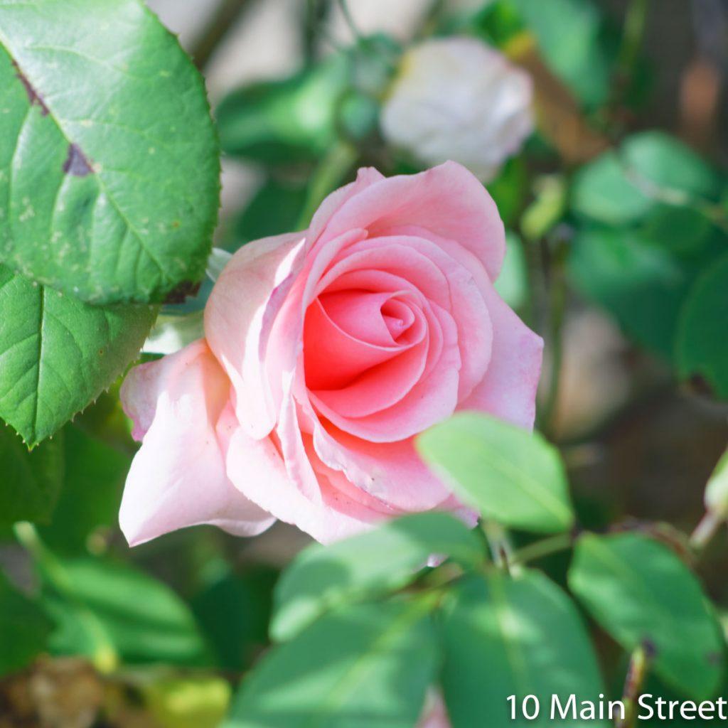 Rose au milieu des feuilles