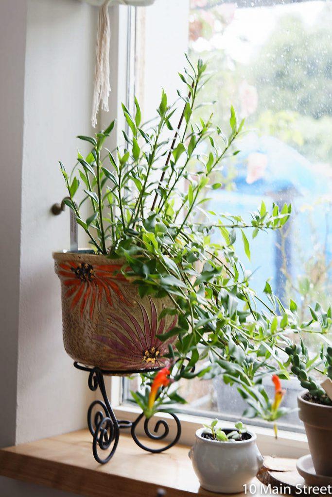 aeschynanthus speciosus sur un photophore converti en support à plante
