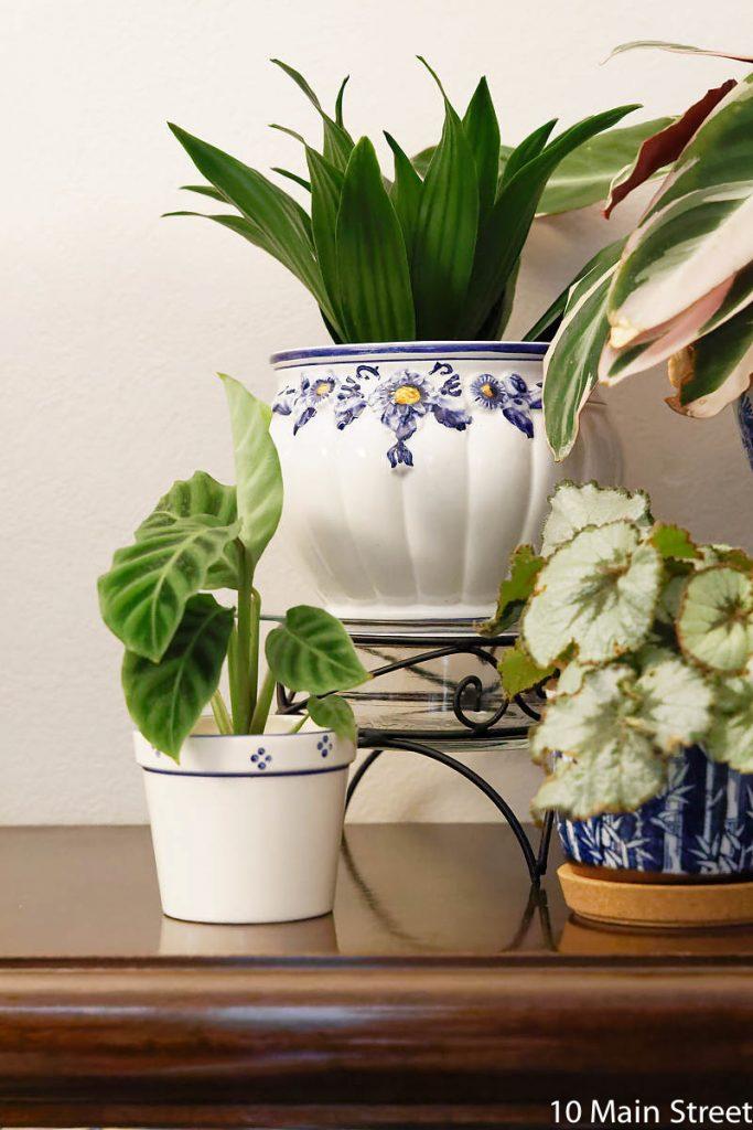 Dracaena fragrans - calathea zebrina - begonia escargot